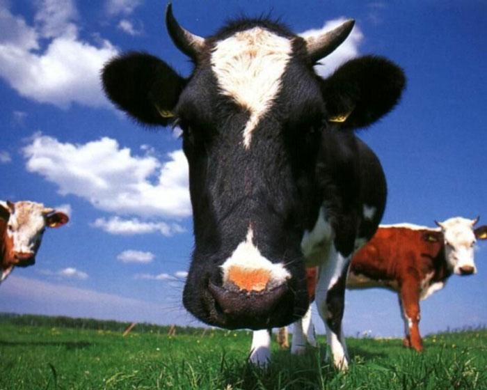 vacas-achtung-revista